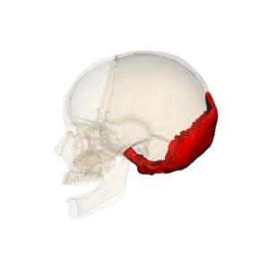 375px-Occipital_bone_090_000