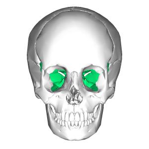 Sphenoid_bone_-_anterior_view